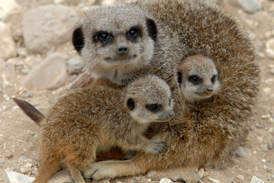 Some of our meerkats