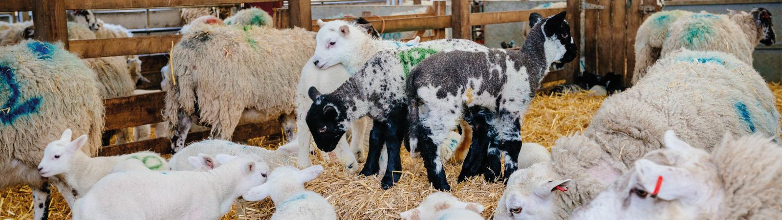 Lambing Sunday at Bishop Burton College