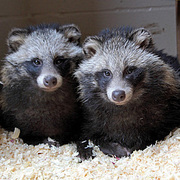 Bishop Burton's latest recruits for September? Raccoon Dogs